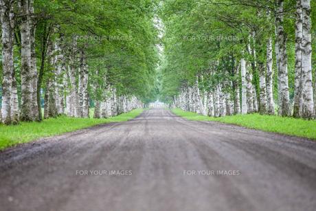 白樺の並木道の写真素材 [FYI00214323]