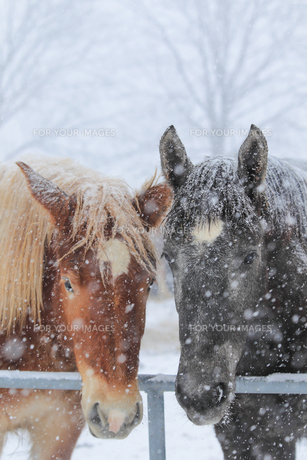冬の馬の写真素材 [FYI00214339]