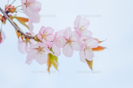 桜の写真素材 [FYI00214377]