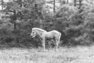 モノクロの白馬の素材 [FYI00214392]