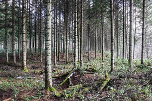 北海道の松林の写真素材 [FYI00214393]