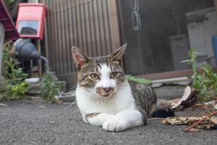 日本の野良猫の写真素材 [FYI00214405]