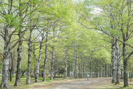 白樺の並木道の写真素材 [FYI00214411]