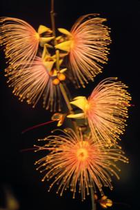 沖縄のさがり花の素材 [FYI00214582]