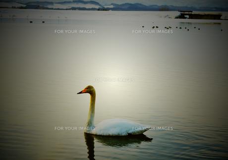 白鳥の写真素材 [FYI00214611]