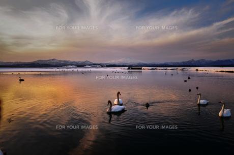 白鳥のと湖と鳥海山の写真素材 [FYI00214621]