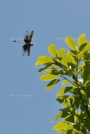 カラスヤンマ飛翔の写真素材 [FYI00214639]