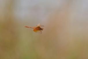 キトンボ飛翔の写真素材 [FYI00214653]