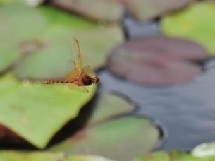 キトンボ飛翔の写真素材 [FYI00214656]
