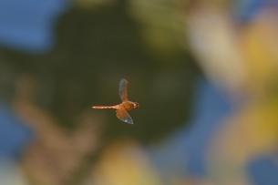 キトンボ飛翔の写真素材 [FYI00214663]