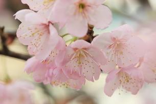 春満開の写真素材 [FYI00215363]