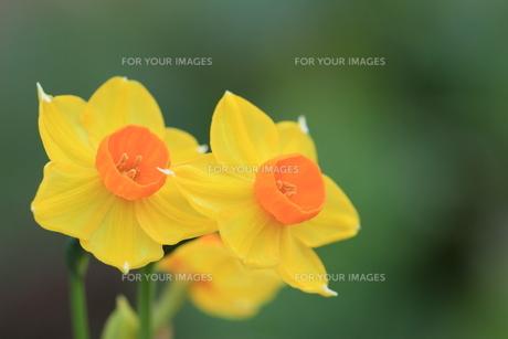黄色い水仙の素材 [FYI00215370]