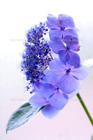 紫陽花の素材 [FYI00215460]