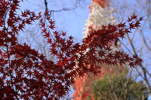 紅葉、東京タワーの写真素材 [FYI00215465]