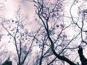 桜散る頃の写真素材 [FYI00215476]