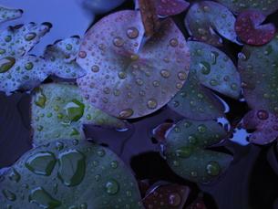 蓮の葉、露の写真素材 [FYI00215526]