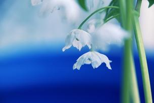 希少トガクシショウマの白花の写真素材 [FYI00215594]