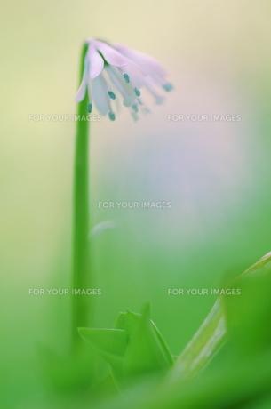 屋久島ショウジョウバカマの花の写真素材 [FYI00215606]