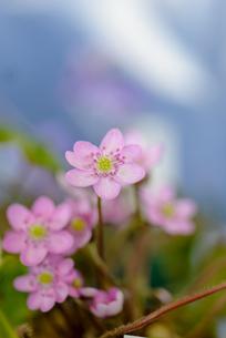 ほんのり春色の写真素材 [FYI00215642]