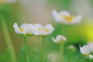 チングルマの花の写真素材 [FYI00215652]