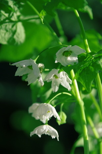 希少トガクシショウマの白花の写真素材 [FYI00215655]