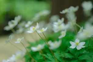二輪草の花の写真素材 [FYI00215664]