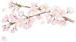 桜の写真素材 [FYI00215673]