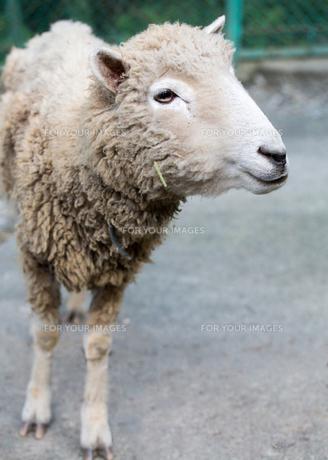 羊のアップの写真素材 [FYI00215694]