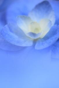 紫陽花の写真素材 [FYI00215712]