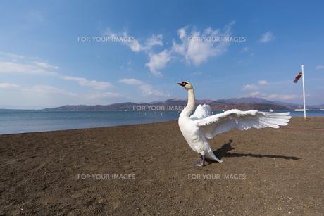 羽ばたく白鳥の写真素材 [FYI00215742]