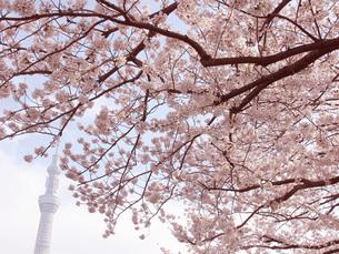 東京スカイツリーと満開桜の写真素材 [FYI00215789]