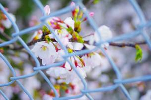 桜とフェンスの写真素材 [FYI00215941]