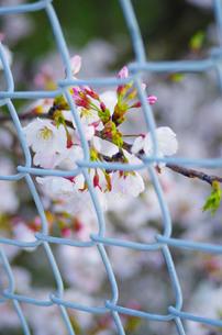 桜とフェンスの写真素材 [FYI00215949]