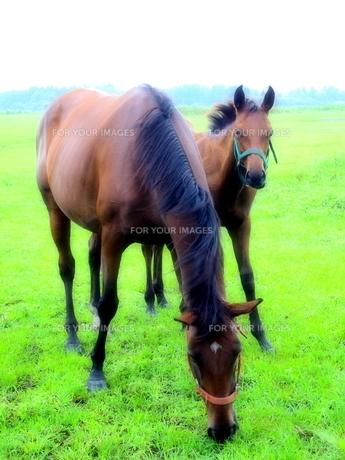 馬の親子の写真素材 [FYI00215958]