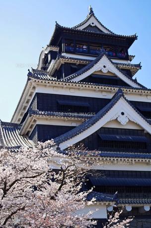 満開の桜と熊本城の写真素材 [FYI00215971]