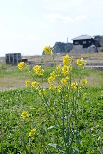 福島の被災地に咲く菜の花の写真素材 [FYI00215982]