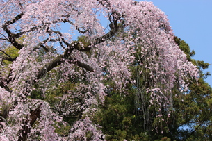 満開の枝垂桜の写真素材 [FYI00215984]