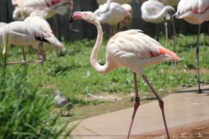 動物園のフラミンゴの写真素材 [FYI00215986]