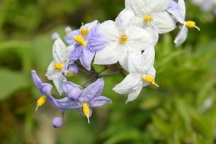 初夏のつる花ナスの花 の写真素材 [FYI00215990]