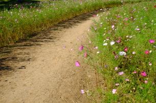 コスモス畑の小道の写真素材 [FYI00215994]