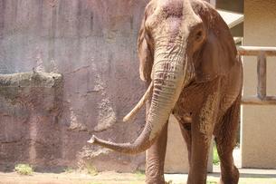 象さんの写真素材 [FYI00215995]