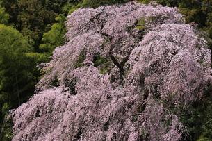 しだれ桜 梅岩寺の写真素材 [FYI00215997]