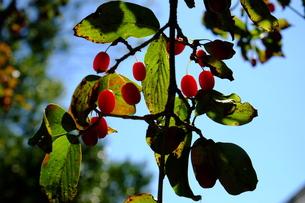 サンシュの赤い実の写真素材 [FYI00216003]