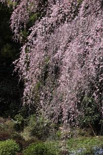 枝垂桜の写真素材 [FYI00216004]