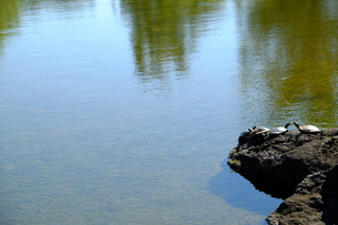 亀のいる池の写真素材 [FYI00216006]