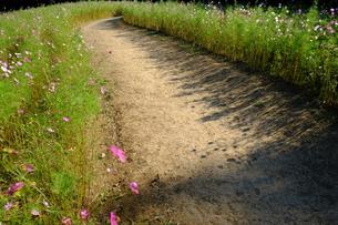 コスモス畑の小道の写真素材 [FYI00216007]
