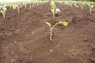 野菜の苗の写真素材 [FYI00216011]