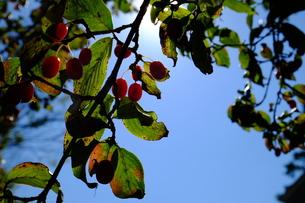 サンシュの赤い実の写真素材 [FYI00216012]