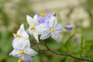 やまほろし 別名つる花ナスの初夏に咲く花の写真素材 [FYI00216014]