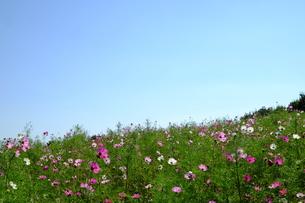コスモス畑の写真素材 [FYI00216017]